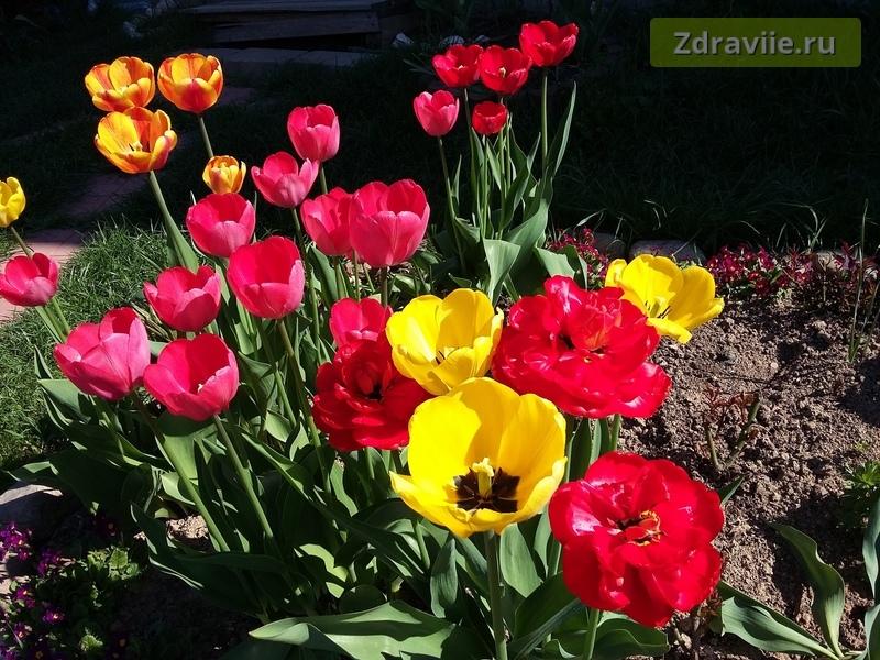 когда правильно сажать тюльпаны
