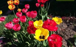 Весна или осень: когда правильно сажать тюльпаны