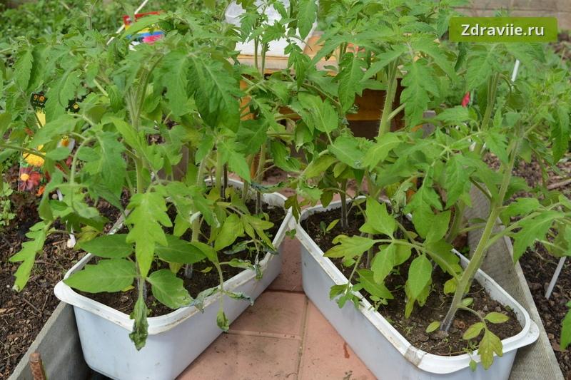 Самый простой и ускоренный метод выращивания рассады томатов